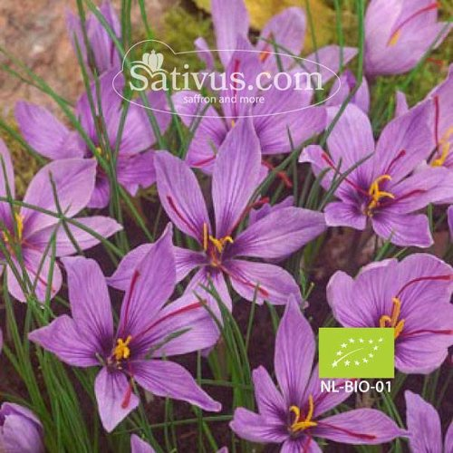 Crocus Sativus -BIO- size 11/+, Orders over 1000 bulbs