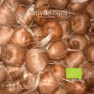 Crocus sativus -BIO- maat 11/+