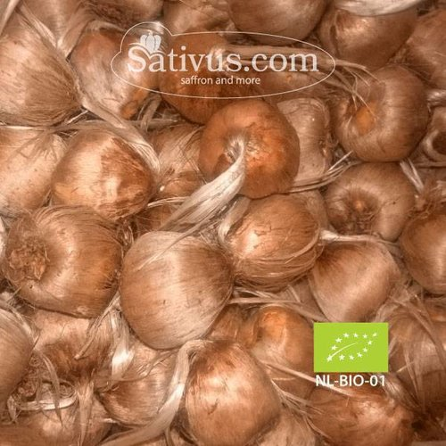 Crocus Sativus -BIO- calibro 11/+, Ordini superiori ai 1000 bulbi