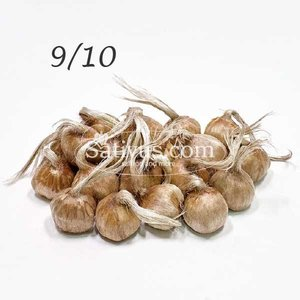 Crocus sativus 2500 bulbs size 9/10