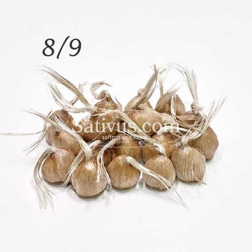2500 Bulbi di crocus Sativus calibro 8/9