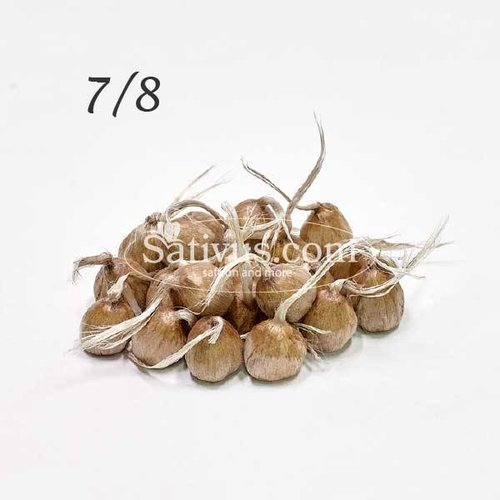 Crocus Sativus 2500 corms size 7/8