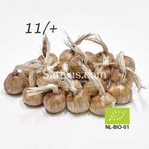 Crocus sativus 500 bulbes calibre 11/+ - BIO