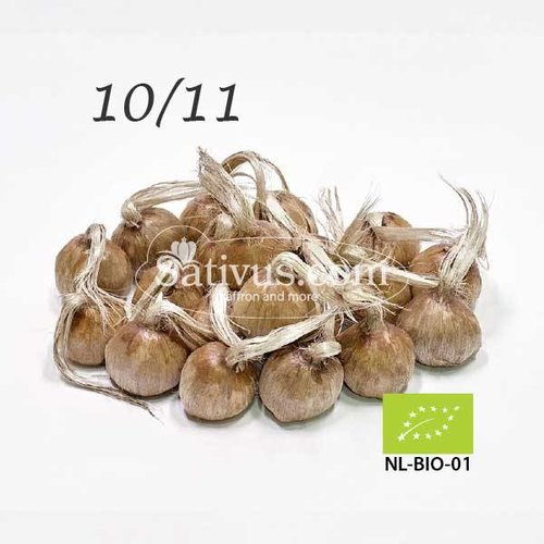 Crocus Sativus 100 corms size 10/11 - BIO