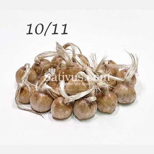 50 Bulbi di crocus Sativus calibro 10/11