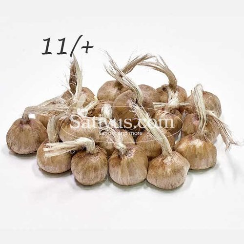 100 Bulbs of crocus Sativus size 11/+