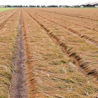 La stagione del raccolto di bulbi di zafferano sta per iniziare