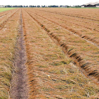 La temporada de cosecha de bulbos de azafrán de 2019 está a punto de comenzar