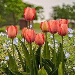 """Tulipa Tulipán """"Van Eijk"""" 15 bulbos de flores de calibre 12/14"""