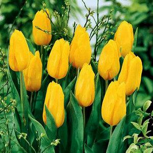 "Tulipa Tulipano ""Strong Gold"" 15 bulbi di fiori di calibro 12/14"