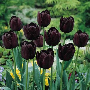 "Tulipa Tulipe ""Queen of Night"" 15 bulbes de fleurs de calibre 12/14"