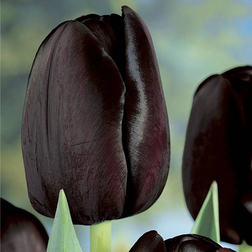 "Tulipa Tulip ""Queen of Night"" 15 flower bulbs of size 12/14"