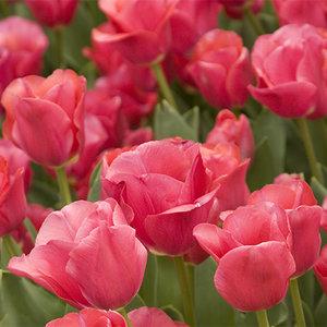 "Tulipa Tulipe ""Don Quichotte"" 15 bulbes de fleurs de calibre 12/14"