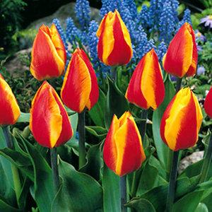 """Tulipa Tulipán """"Flair"""" 15 bulbos de flores de calibre 11/12"""