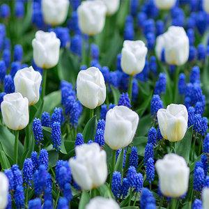 """Tulipa Tulipán """"Antarctica"""" 15 bulbos de flores de calibre 12/14"""