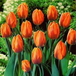 """Tulipa Tulp """"Prinses Irene"""" 15 bloembollen van maat 12/14"""