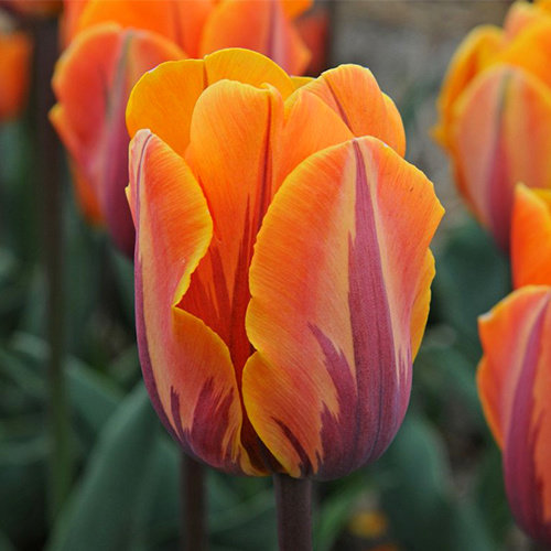 "Tulipa Tulip ""Prinses Irene"" 15 flower bulbs of size 12/14"