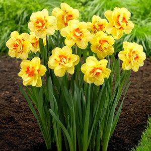 "Narcissus Narciso ""Tahiti"" 10 bulbos de calibre 14/16"