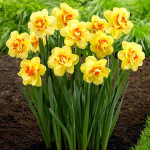 """Narcissus Narcisse """"Tahiti"""" 10 bulbes de calibre 14/16"""