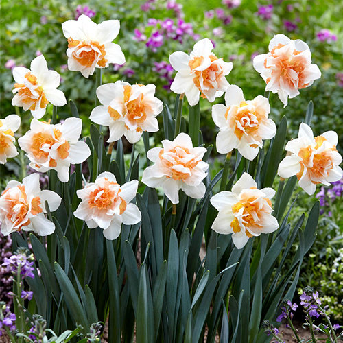 "Narcissus Daffodil ""Replete"" 10 bulbs of size 12/14"
