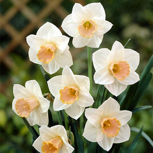 "Narcissus Daffodil ""Salome"" 10 bulbs of size 12/14"