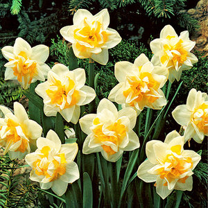 """Narcissus Jonquille """"White Lion"""" 10 bulbes de calibre 16/+"""