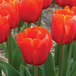"""Tulipa Tulipán """"Bourbon Street"""" 15 bulbos de flores de calibre 12/14"""