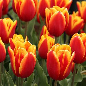 """Tulipa Tulipán """"Dow Jones"""" 15 bulbos de flores de calibre 12/14"""