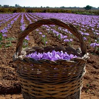 The quality of our Crocus sativus bulbs