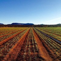 Growing Saffron in the Southern Hemisphere