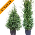 TAXUS BACCATA Categorie TaxusTopper