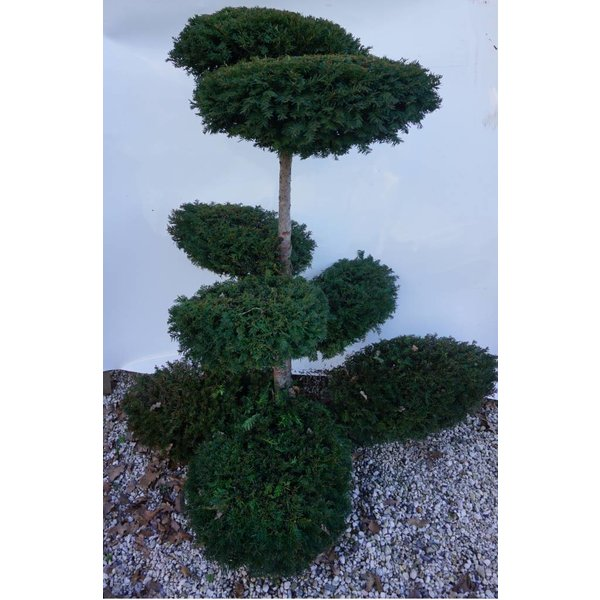 Taxus Baccata bonsai vormboom gesnoeid