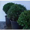 Taxus Baccatta bol 35/40