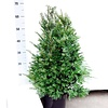 Taxus 40 - 60 cm (Baccata in pot)