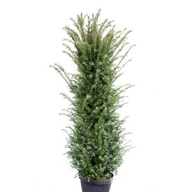 Taxus 275- 300 cm (Baccata)