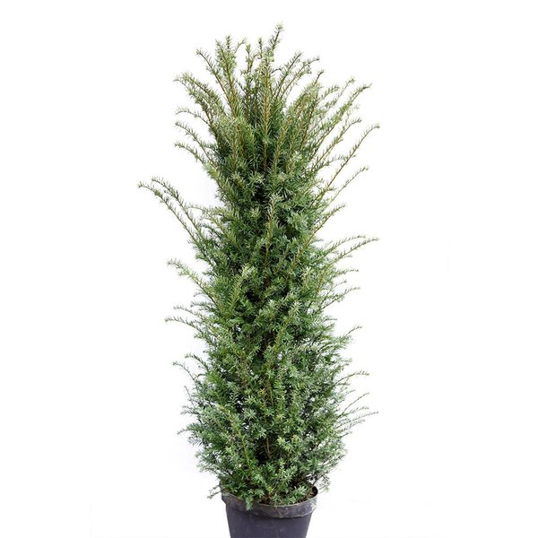 Taxus 275 - 300 cm (Baccata)