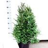 Taxus 40 - 60 cm (Baccata met kluit)