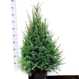 Taxus 80 - 100 cm (Baccata)