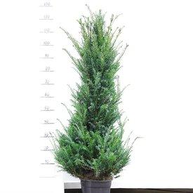 Taxus 120 - 140 cm (Baccata)