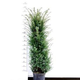 Taxus 160 - 180 cm (Baccata)