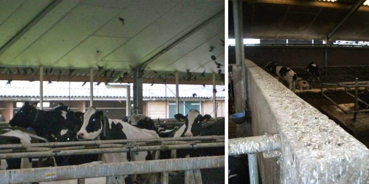 ALCETSOUND vogelwering spreeuwenoverlast melkveehouderij