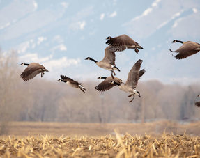 Chase geese away