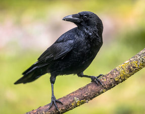 Scare away crows
