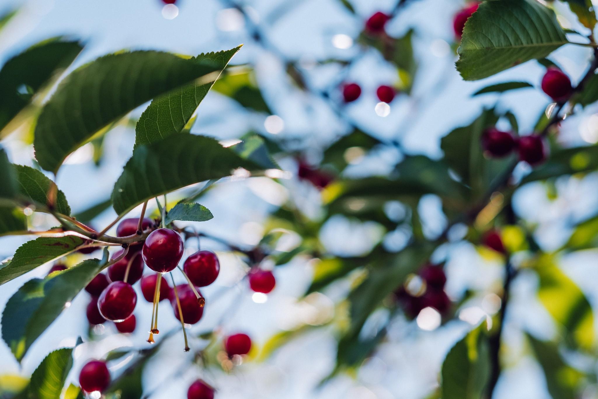 Rijpe vruchten aantrekkelijk voor vogels