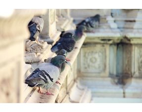 Pigeon repelling