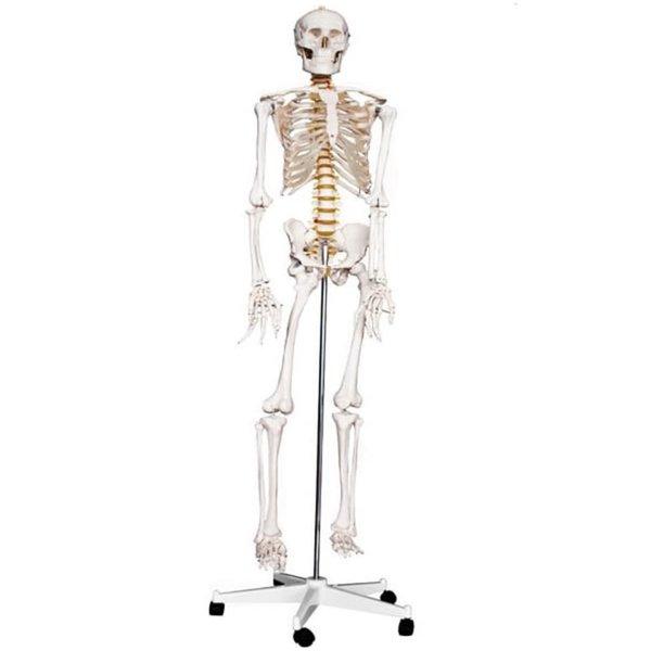 Skelet op standaard 188 cm