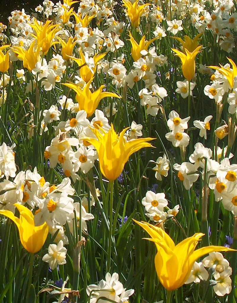 Tulp  Tulipa 'West Point'