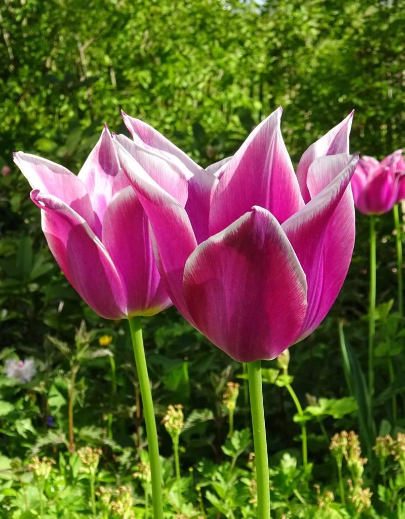 Tulp  Tulipa 'Ballade'