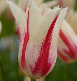 Tulp  Tulipa 'Marilyn'