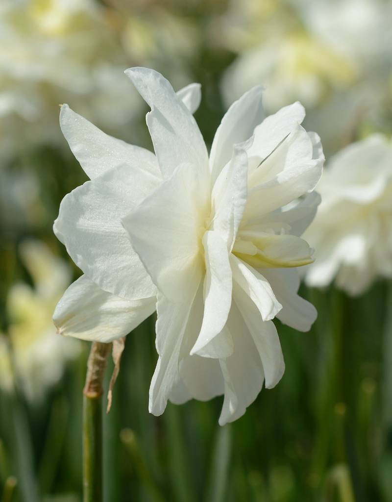 Narcis  Narcissus 'Calgary', BIO